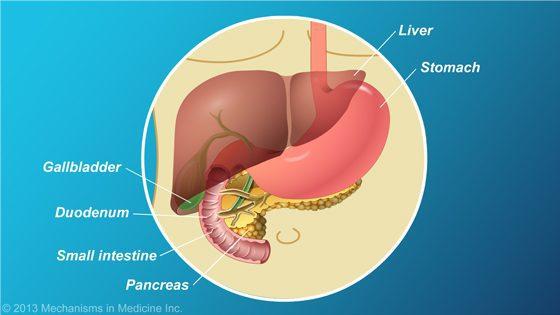 pancreas-location - the national pancreas foundation, Human Body